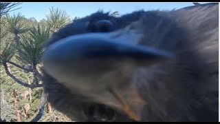 Big Bear Eagles ~ SIMBA ** CUTIE** PHOTO BOMBS The Cam!! SO ADORABLE ♥♥  7.18.19