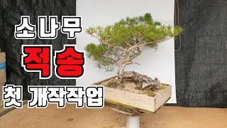 Korean red pine bonsai styling-2. Geum-Hyeon Bonsai (Lee Kwang-Jong, KOREA)