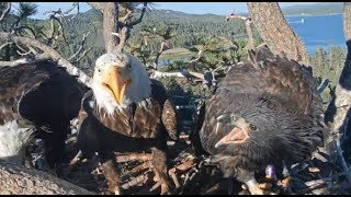Big Bear Eagles ~ Lessons For Simba! Loses Two Fish To Mom & Shadow  * *TEMPER TANTRUM*!