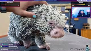 Porcupine Loves To Get Pet | ChrisJov reagiert auf Daily Dose Of Internet